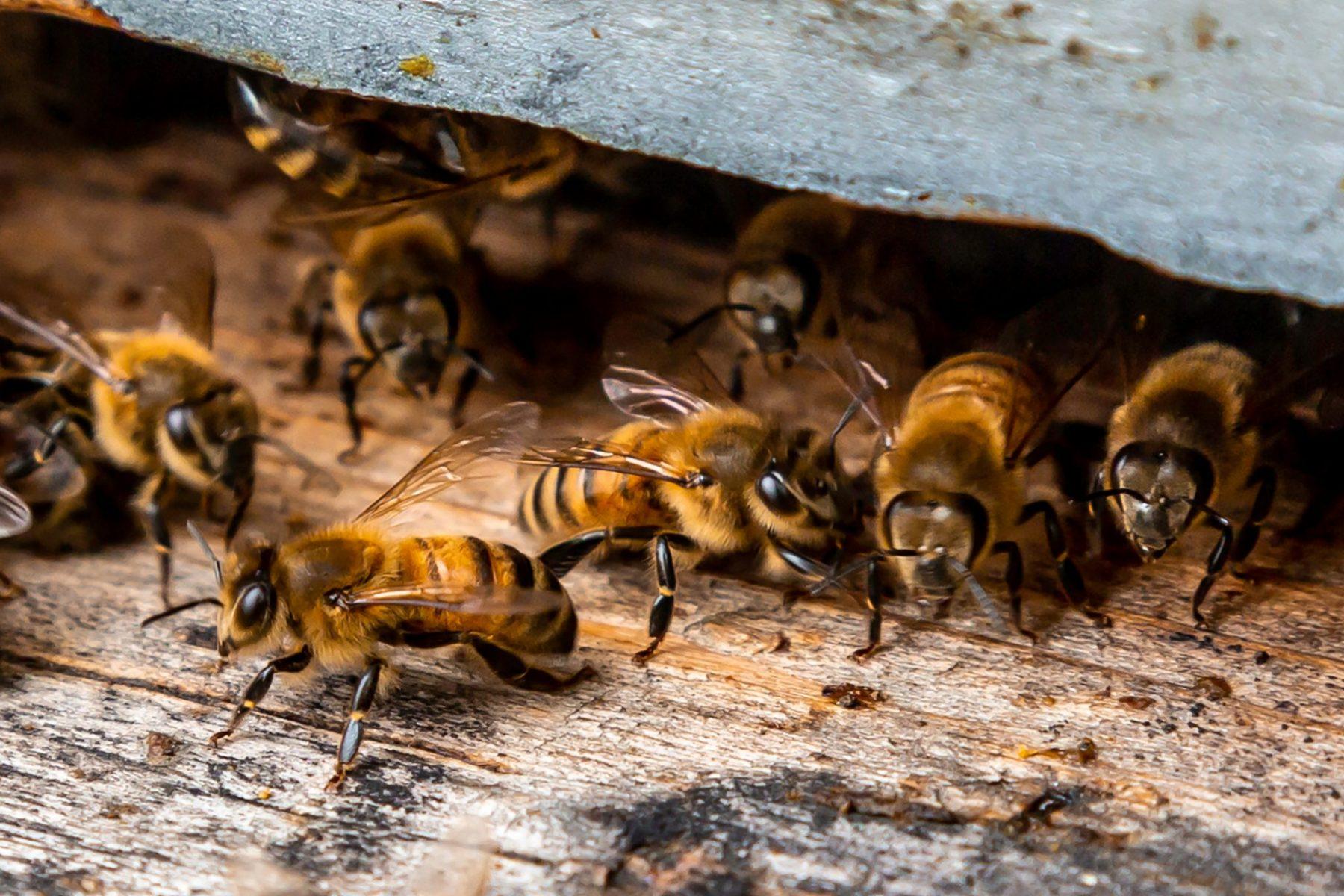 Honey Bee Team